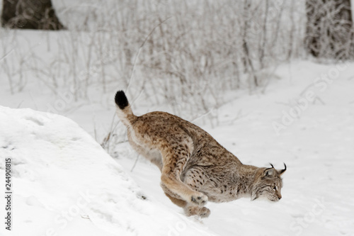 Fototapeta premium Luchs Weather