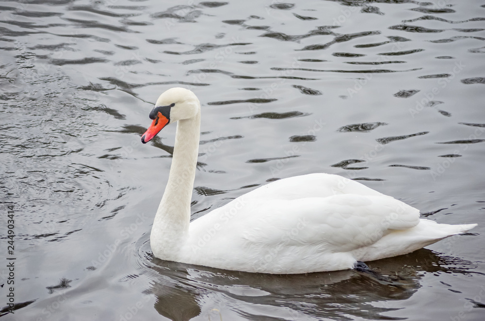 White swan on the lake during the daytime. Beautiful swan.