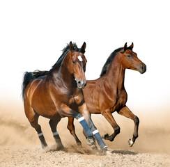 Bay sportive horses running wild
