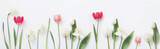 Fototapeta Tulipany - spring flowers on white background