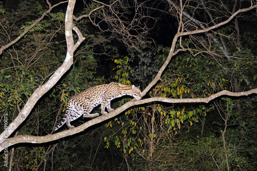 Ocelot, Leopardus Pardalis, at night, Fazenda San Francisco, Miranda, Mato Gross Canvas Print