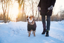 Walking With A Dog In Coat On Cold Winter Day. Person With A Dog In Warm Clothing On The Leash At A Park