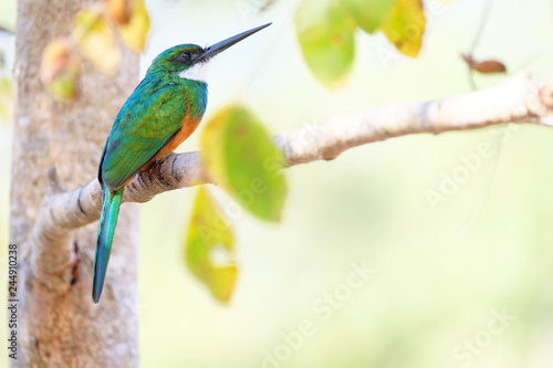 Fotografija  Rufous-tailed Jacamar, Galbula Ruficauda, green and orange bird with long bill,