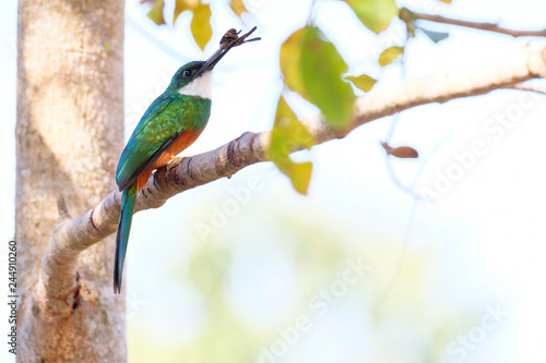 Fotografie, Obraz  Rufous-tailed Jacamar, Galbula Ruficauda, green and orange bird with long bill,