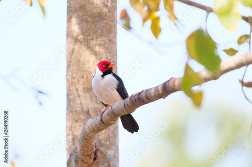 Fotografering  Yellow-billed Cardinal, Paroaria Capitata, black and white song bird with red he