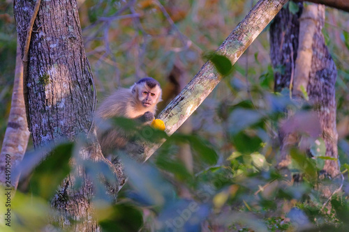 Fotografija  Azaras's Capuchin or Hooded Capuchin, Sapajus Cay, Simia Apella or Cebus Apella,