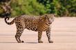 canvas print picture - Jaguar, Panthera Onca, Female, Cuiaba River, Porto Jofre, Pantanal Matogrossense, Mato Grosso do Sul, Brazil
