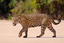 Jaguar, Panthera Onca, Female,...