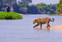 Jaguar, Panthera Onca, Female, Observed By Unrecognizable Tourists Crossing Cuiaba River, Pantanal, Brazil
