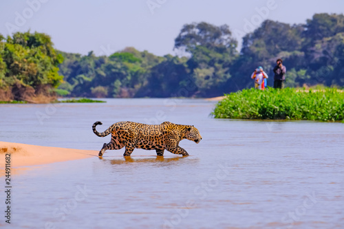 Garden Poster Brazil Jaguar, Panthera Onca, Female, observed by unrecognizable tourists crossing Cuiaba River, Pantanal, Brazil
