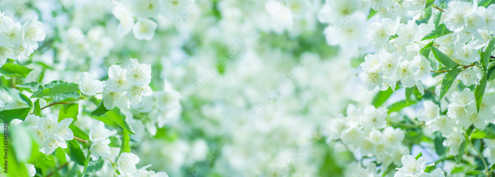 Fototapeta Spring natural  background with bright blooming jasmine. Spring floral background