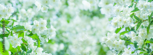 Photo Spring natural  background with bright blooming jasmine