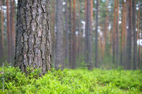 Obraz Scots pine (Pinus sylvestris) forest. Pine trunk and bilberries (Vaccinium myrtillus) on foreground. Focus on pine trunk, shallow depth of field. - fototapety do salonu