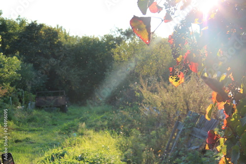 Poster Kaki autumn grapes, still life, painting photos, late autumn, blue, foliage, bunches