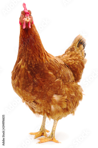 Photographie Brown hen isolated.