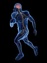 3d Rendered Medically Accurate Illustration Of The Nervous System Of An American Football Player