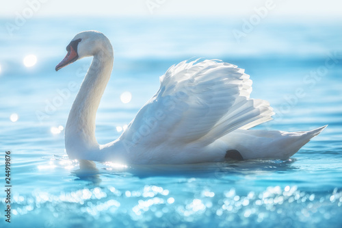 White swan in calm sea water, beautiful sunrise shot