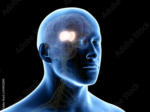 Fototapeta 3d rendered medically accurate illustration of the thalamus obraz