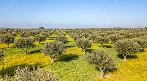 Drone aerial view of olive grove in Alentejo Portugal Wallpaper Mural
