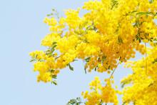 満開のミモザの花