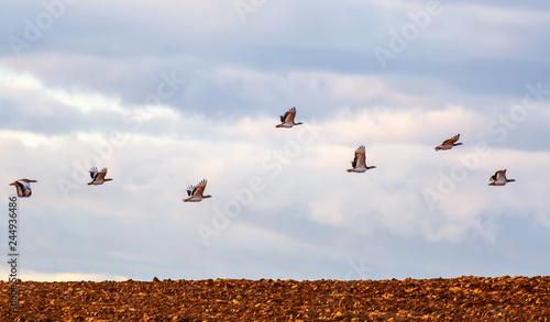 Valokuva  Bando de avutardas comunes en vuelo en la Comarca de Los Oteros