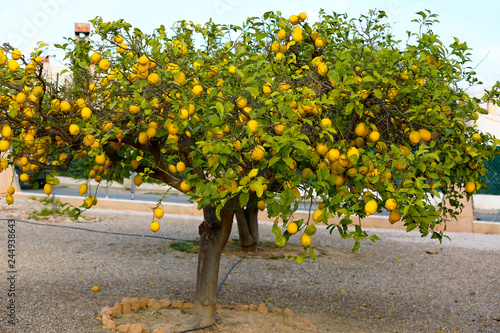 Lemons hanging from a tree in a lemon grove