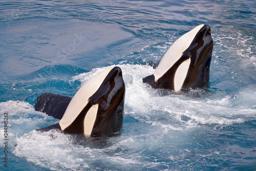 Two killer whales (Orcinus orca) in whirlpool water