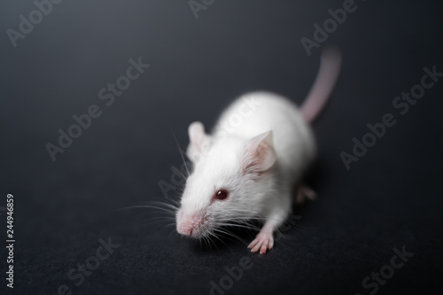 Fotografie, Obraz  white laboratory rat isolated on grey background