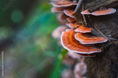 Fotografia, Obraz  close-up shot of polypore mushrooms on timber in rainforest nature