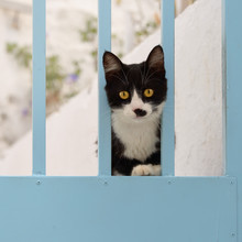 Black-white Kitten On A Blue Door, Aegean Island, Greece, Europe