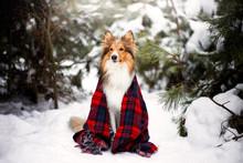 Beautiful Dog Breed Sheltie In...