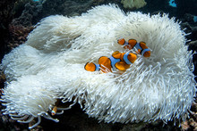 Clownfish In Bleached Anenome