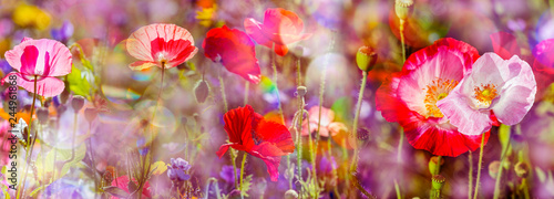 Fototapeta summer meadow with red poppies obraz