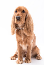 A Golden Cocker Spaniel Isolated On White Background