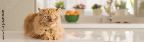 Cadres-photo bureau Chat Beautiful ginger long hair cat lying on kitchen table on a sunny day at home
