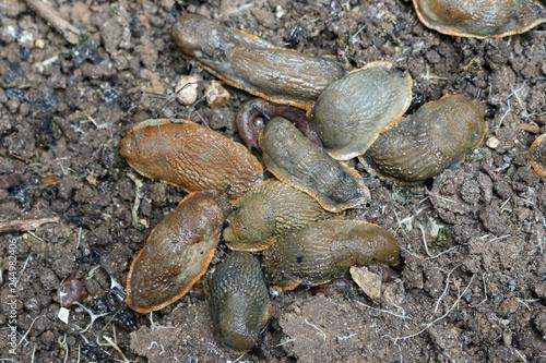 Large black slugs on soil