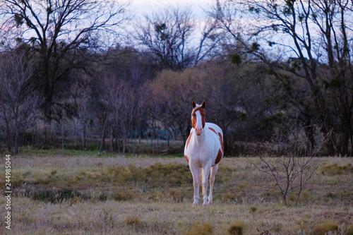 Fotografie, Obraz  Western horse in rural pasture during winter