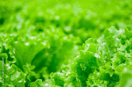 Closeup Fresh organic green leaves lettuce salad plant in hydroponics vegetables farm system - 244986045