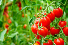 Fresh Ripe Red Tomatoes Plant ...