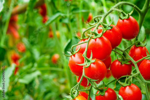 Fototapeta Fresh ripe red tomatoes plant growth in organic greenhouse garden ready to harvest obraz