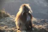 Fototapeta Sawanna - małpka siedząca na krawędzi skały w popołudniowym słońcu