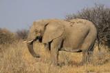 Fototapeta Sawanna - duży stary słoń stojący w trawach sawanny