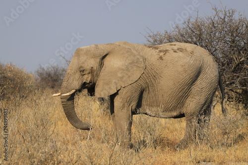 duży stary słoń stojący w trawach sawanny