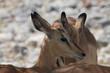 głowa antylopy w naturalnym środowisku z bliska