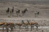 Fototapeta Sawanna - zebry i antylopy przy wodopoju w naturalnych warunkach