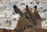 Fototapeta Sawanna - głowa antylopy w naturalnym środowisku z bliska