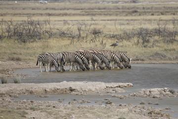 zebry w rzędzie na safari pijące wodę