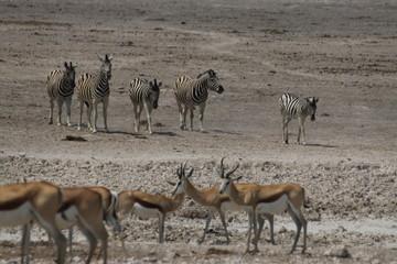 zebry i antylopy przy wodopoju w naturalnych warunkach
