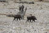 Fototapeta Sawanna - dwa guźce idące przez afrykańskie pustkowie