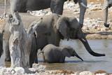 Fototapeta Sawanna - stado słoni stojące w wodzie podczas wodopoju